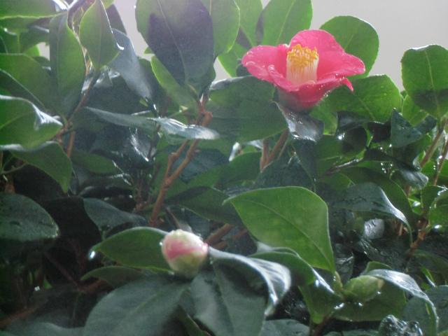 最初に咲いた椿(11月24日)